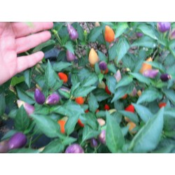 PAPRYKA CHILI NUMEX TWILIGHT