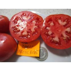 Pomidor Dwarf Arctic Rose