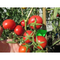 Pomidor JITKA