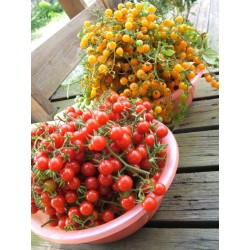 POMIDOR CURRANT GOLD RUSH -...
