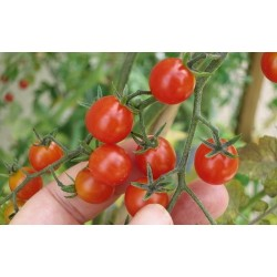 POMIDOR CURRANT SWEET PEA -...